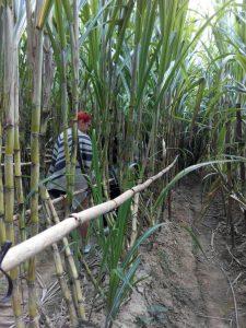 Erkundung der Zuckerrohrplantage